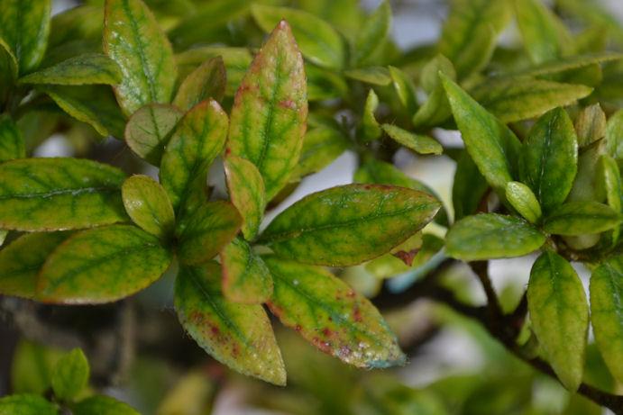 Azalea anemica - Azalea foglie ...