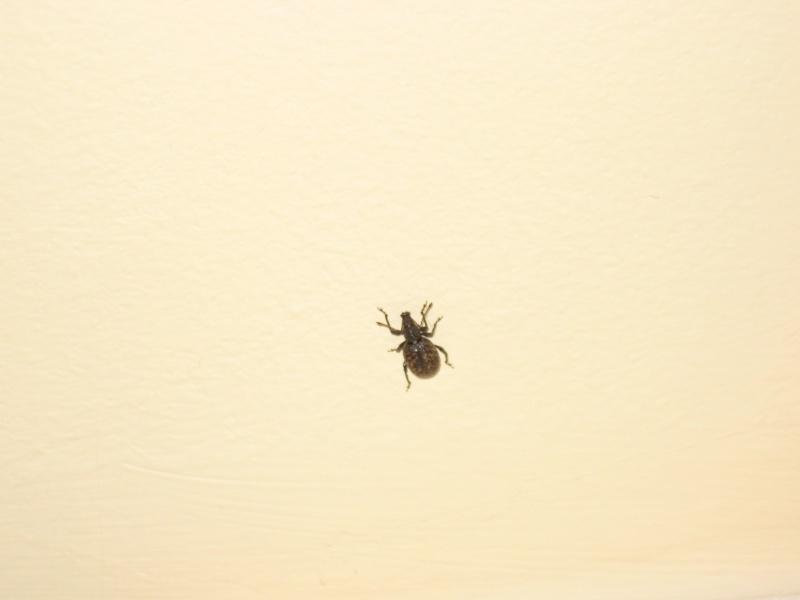 Identification insecte noir carapace for Bete qui mange le bois