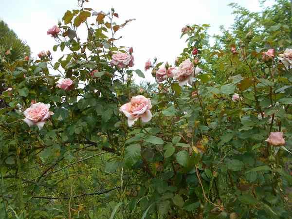 rosier18.jpg