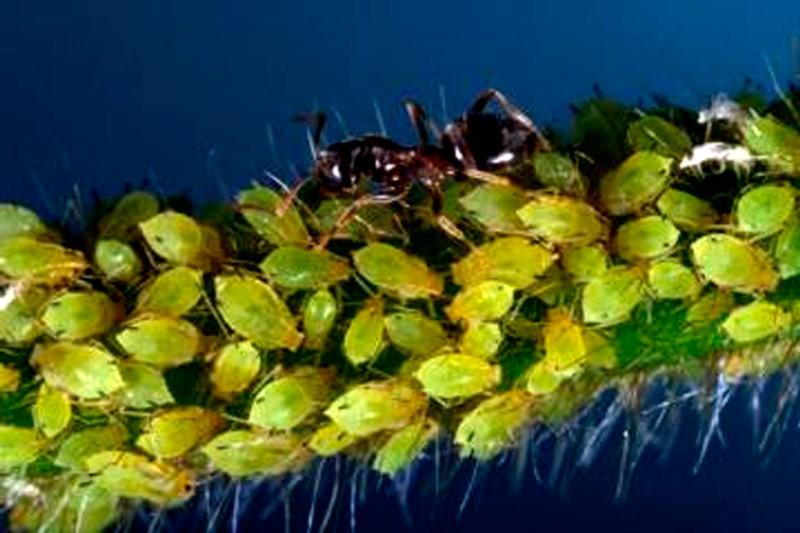 Pulgon fido - Pulgon en plantas ...