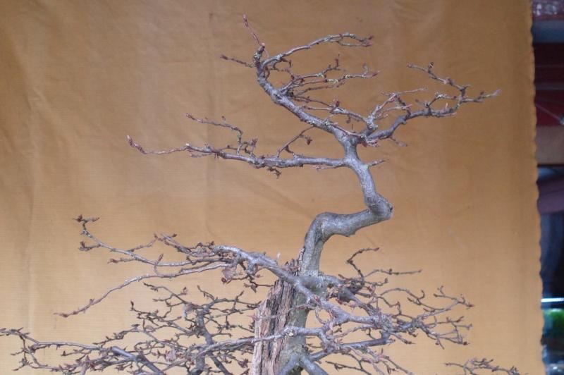 traitement du bois mort sur charme. Black Bedroom Furniture Sets. Home Design Ideas
