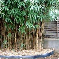 bambou10.jpg
