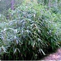 bambou11.jpg