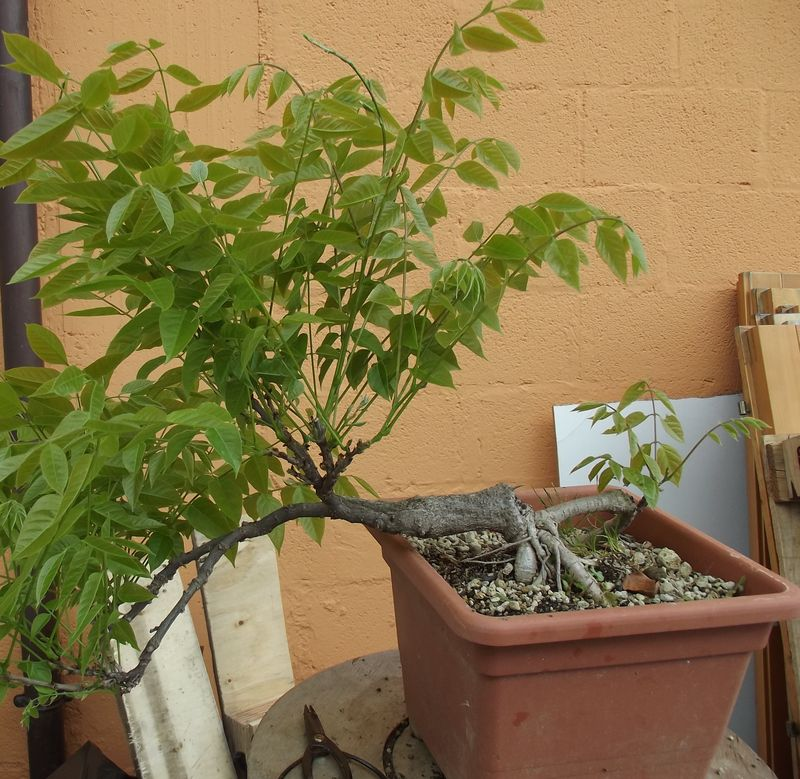 Glicine da margotta kordonbleu for Glicine bonsai prezzo