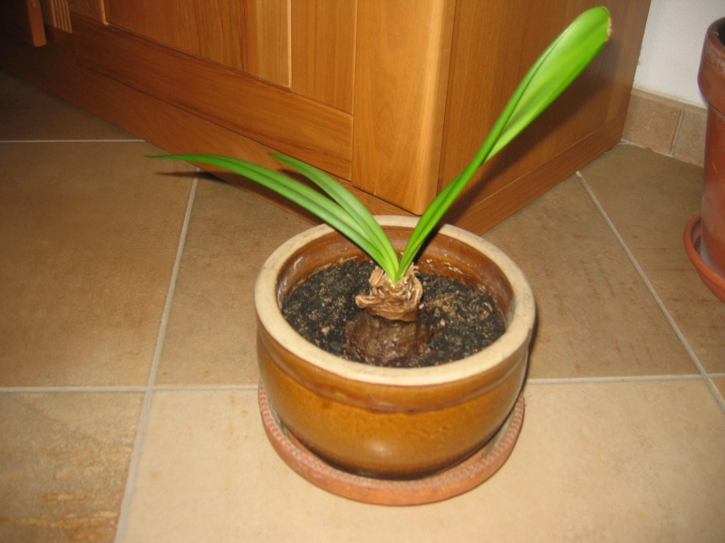 Mon amaryllis a des probl mes - Taille des orchidees apres floraison ...