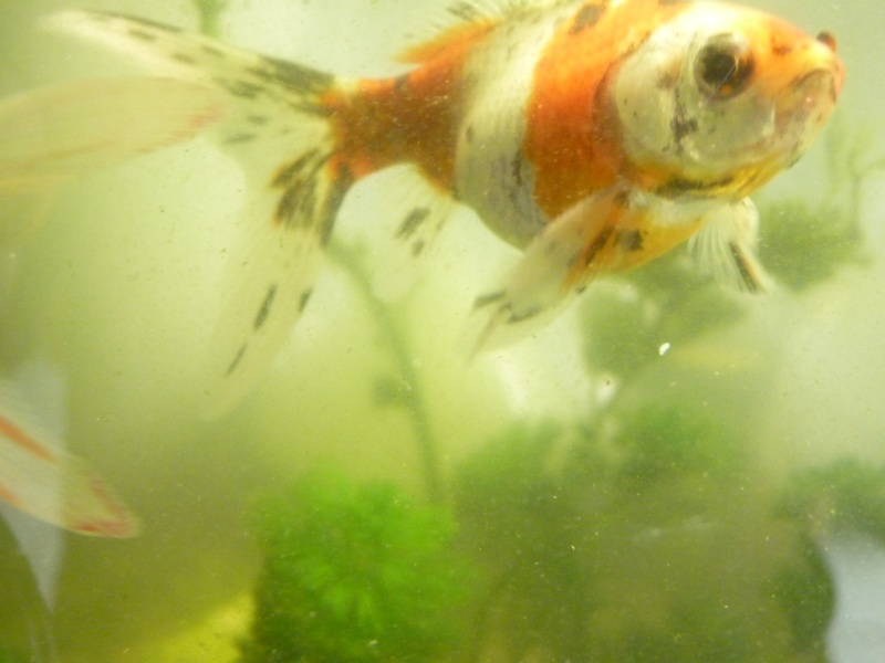Poisson rouge malade ou juste gros for Poisson rouge gros yeux