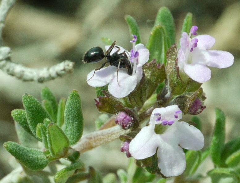fourmi s'enivrant du nectar d'une fleur de thym