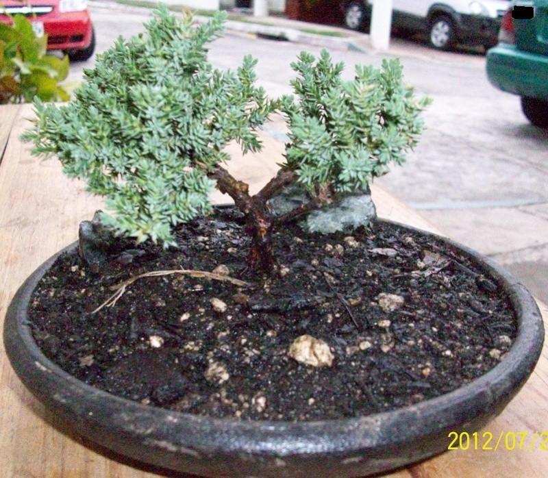 Otro mamecito junipero leo for Bonsai vendo