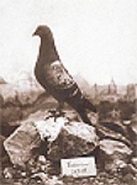 Les pigeons au combat vailla10
