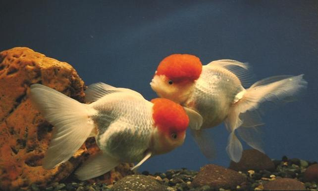 A la recherche de poisson tete de lion for Prix poisson rouge tete de lion